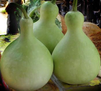 Bottle-gourd